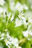 τα λουλούδια anemone αναπηδούν το λευκό Στοκ φωτογραφίες με δικαίωμα ελεύθερης χρήσης