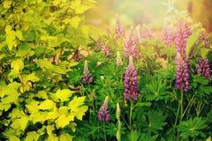 Τα λουλούδια Lupine που ανθίζουν στο θερινό κήπο με το κίτρινο ninebark φυτεύουν ` Aurea ` με θάμνους Στοκ Εικόνες