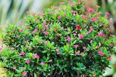 Τα λουλούδια milii ευφορβίας μοιάζουν με το bokeh Στοκ Εικόνες
