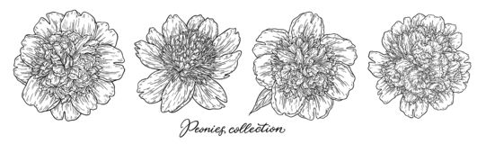 Τα λουλούδια Peony καθορισμένα το χέρι που σύρεται στις γραμμές Γραπτή γραφική floral διανυσματική απεικόνιση σκίτσων doodle Απομ στοκ φωτογραφίες με δικαίωμα ελεύθερης χρήσης