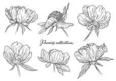 Τα λουλούδια Peony καθορισμένα το χέρι που σύρεται στις γραμμές Γραπτή γραφική floral διανυσματική απεικόνιση σκίτσων doodle Απομ στοκ εικόνες