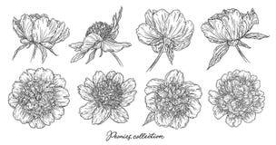 Τα λουλούδια Peony καθορισμένα το χέρι που σύρεται στις γραμμές Γραπτή γραφική floral διανυσματική απεικόνιση σκίτσων doodle Απομ στοκ εικόνα με δικαίωμα ελεύθερης χρήσης
