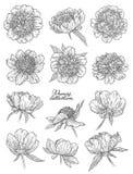 Τα λουλούδια Peony καθορισμένα το χέρι που σύρεται στις γραμμές Γραπτή γραφική floral διανυσματική απεικόνιση σκίτσων doodle Απομ στοκ φωτογραφία με δικαίωμα ελεύθερης χρήσης