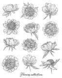 Τα λουλούδια Peony καθορισμένα το χέρι που σύρεται στις γραμμές Γραπτή γραφική floral διανυσματική απεικόνιση σκίτσων doodle Απομ στοκ φωτογραφίες