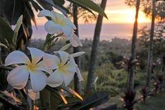 Τα λουλούδια Plumeria αυξάνονται στις νήσους Rarotonga Κουκ Στοκ εικόνα με δικαίωμα ελεύθερης χρήσης