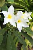 Τα λουλούδια Plumeria αυξάνονται στις νήσους Rarotonga Κουκ Στοκ φωτογραφία με δικαίωμα ελεύθερης χρήσης