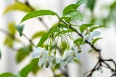 Τα λουλούδια religiosa Wrightia, μακρο πυροβολισμός των άσπρων λουλουδιών είναι frag στοκ εικόνα