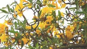 Τα λουλούδια Tabebuya είναι κίτρινα το απόγευμα απόθεμα βίντεο