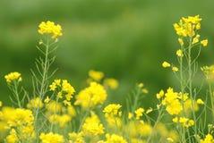 τα λουλούδια βιάζουν κί&t Στοκ Εικόνα