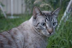 Τα λυγξ δείχνουν τη σιαμέζα γάτα έξω στοκ φωτογραφίες