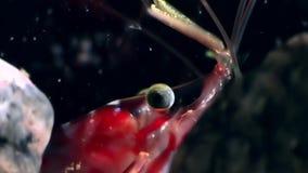 Τα μάτια των κόκκινων γαρίδων κλείνουν επάνω καλυμμένος σε αναζήτηση των τροφίμων υποβρύχιων της άσπρης θάλασσας απόθεμα βίντεο