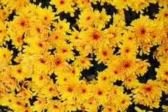 Τα μέρη των κίτρινων λουλουδιών ανθίζουν, πέταλα, φυσικό υπόβαθρο, ομορφιά κήπων Στοκ Εικόνες