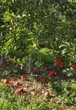Τα μήλα έριξαν μακριά τα δέντρα Στοκ φωτογραφία με δικαίωμα ελεύθερης χρήσης