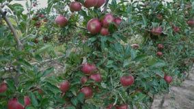 τα μήλα κλείνουν το κόκκι& απόθεμα βίντεο