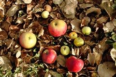 τα μήλα ξεραίνουν τα φύλλα Στοκ εικόνα με δικαίωμα ελεύθερης χρήσης