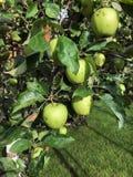 Τα μήλα ωριμάζουν στο δέντρο το καλοκαίρι Στοκ φωτογραφία με δικαίωμα ελεύθερης χρήσης