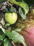 Τα μήλα ωριμάζουν στο δέντρο το καλοκαίρι Στοκ εικόνες με δικαίωμα ελεύθερης χρήσης