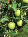Τα μήλα ωριμάζουν στο δέντρο το καλοκαίρι Στοκ φωτογραφίες με δικαίωμα ελεύθερης χρήσης