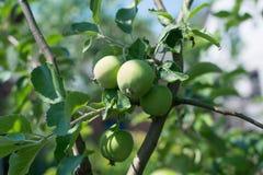 τα μήλα μήλων διακλαδίζον&t Στοκ φωτογραφία με δικαίωμα ελεύθερης χρήσης