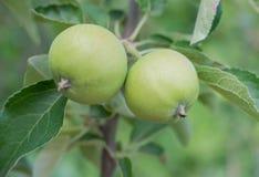 τα μήλα μήλων διακλαδίζον&t Στοκ Εικόνα