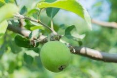 τα μήλα μήλων διακλαδίζον&t Στοκ εικόνα με δικαίωμα ελεύθερης χρήσης