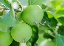 τα μήλα μήλων διακλαδίζον&t Στοκ Εικόνες