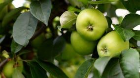 Τα μήλα στο δέντρο Στοκ Εικόνες