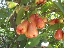 Τα μήλα της Ιάβας ή αυξήθηκαν μήλα στοκ εικόνες