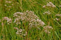 Τα μαλακά ρόδινα κοινά valerian λουλούδια, κλείνουν επάνω - officinalis Valeriana Στοκ Εικόνες