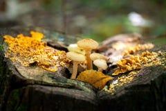 Τα μανιτάρια αυξάνονται δασικό στο δηλητηριώδη, μη φαγώσιμος στοκ εικόνες με δικαίωμα ελεύθερης χρήσης