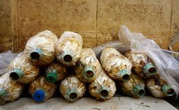 Τα μανιτάρια καλλιεργούν Στοκ φωτογραφία με δικαίωμα ελεύθερης χρήσης