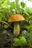 """Τα μανιτάρια του πρώτου καλοκαιριού """"aurantiacum Leccinum """"τα μανιτάρια στοκ φωτογραφία με δικαίωμα ελεύθερης χρήσης"""