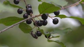 Τα μαύρα μούρα είναι δηλητηριώδη απόθεμα βίντεο