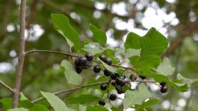 Τα μαύρα μούρα είναι δηλητηριώδη φιλμ μικρού μήκους