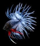 τα μαύρα ψάρια πάλης ανασκόπησης απομόνωσαν σιαμέζο Στοκ φωτογραφία με δικαίωμα ελεύθερης χρήσης