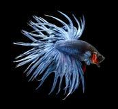 τα μαύρα ψάρια πάλης ανασκόπησης απομόνωσαν σιαμέζο Στοκ Εικόνες