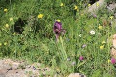 Τα μαύρα όμορφα λουλούδια Iries στο Ισραήλ τοποθετούν Gilboa Carmel Στοκ φωτογραφίες με δικαίωμα ελεύθερης χρήσης
