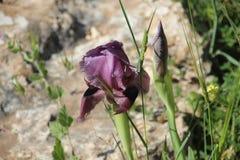 Τα μαύρα όμορφα λουλούδια Iries στο Ισραήλ τοποθετούν Gilboa Carmel Στοκ Εικόνα