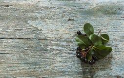Τα μαύρα chokeberry (melanocarpa Aronia) μούρα με βγάζουν φύλλα στο ξύλο στοκ εικόνες
