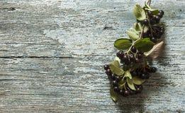 Τα μαύρα chokeberry (melanocarpa Aronia) μούρα με βγάζουν φύλλα στο ξύλο στοκ φωτογραφία