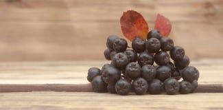 Τα μαύρα chokeberry (melanocarpa Aronia) μούρα με βγάζουν φύλλα στο ξύλο στοκ εικόνα