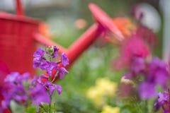 Τα μαλακά λουλούδια άνοιξη εστίασης πορφυρά και το πότισμα μπορούν Στοκ Εικόνες