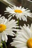 Τα μεγάλα άσπρα θερινά gerberas κλείνουν επάνω κάτω από την ηλιοφάνεια στοκ εικόνες