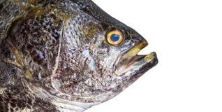 Τα μεγάλα ψάρια απομονώνουν Επικεφαλής κινηματογράφηση σε πρώτο πλάνο ψαριών θάλασσας με τα βράγχια και τη σύσταση κλίμακας Στοκ φωτογραφία με δικαίωμα ελεύθερης χρήσης