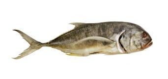 τα μεγάλα ψάρια απομόνωσαν ακατέργαστο Στοκ εικόνα με δικαίωμα ελεύθερης χρήσης