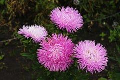 Τα μεγάλα asters προσκαλούν τους φίλους στη σφαίρα Λουλούδια Asters σε ένα απομονωμένο υπόβαθρο στοκ φωτογραφία με δικαίωμα ελεύθερης χρήσης