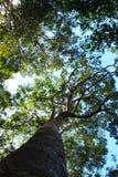 Τα μεγάλα δέντρα από τον κατώτερο Στοκ Εικόνες
