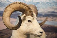 Τα μεγάλα πρόβατα κέρατων κλείνουν Στοκ Εικόνες