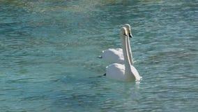 Τα μεγάλα υδρόβια πουλιά καθαρίζουν τα φτερά στο φυσικό πάρκο λιμνών φιλμ μικρού μήκους