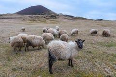 Τα μεταδιδόμενα μέσω του ανέμου πρόβατα βόσκουν στις κλίσεις ενός ηφαιστείου ο Στοκ Εικόνα